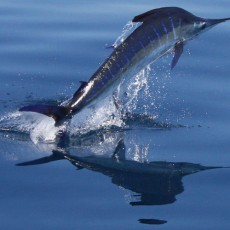 Billfish Conservation Act signed into law!