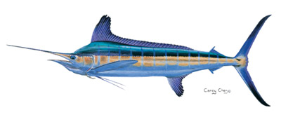 White Marlin_Carey Chen