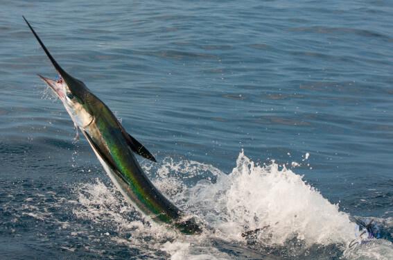green marlin